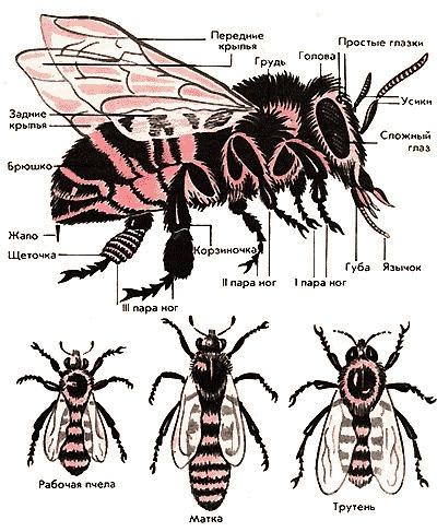 Лечение варикоза у пчел
